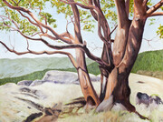 "Highlands Arbutus  36"" x 48""  (oil)"