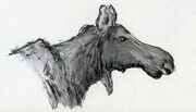 "Moose  6 x 3.5"" Ink and graphite"