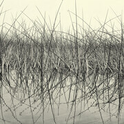 Reeds (digital photography - variable sizes)